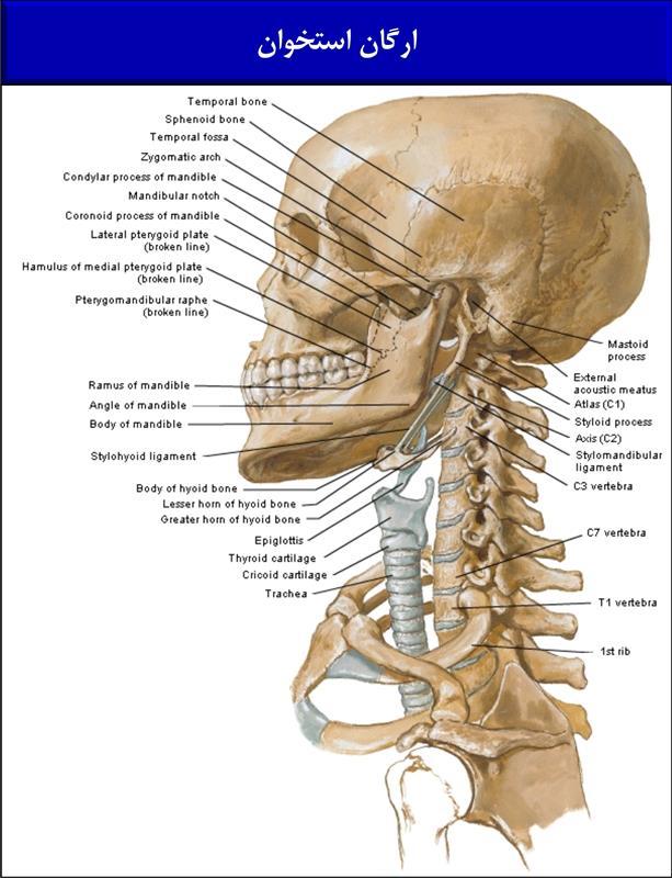 ارگان استخوان