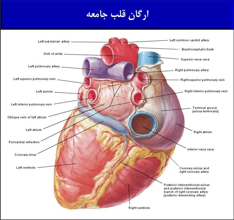 ارگان قلب جامعه