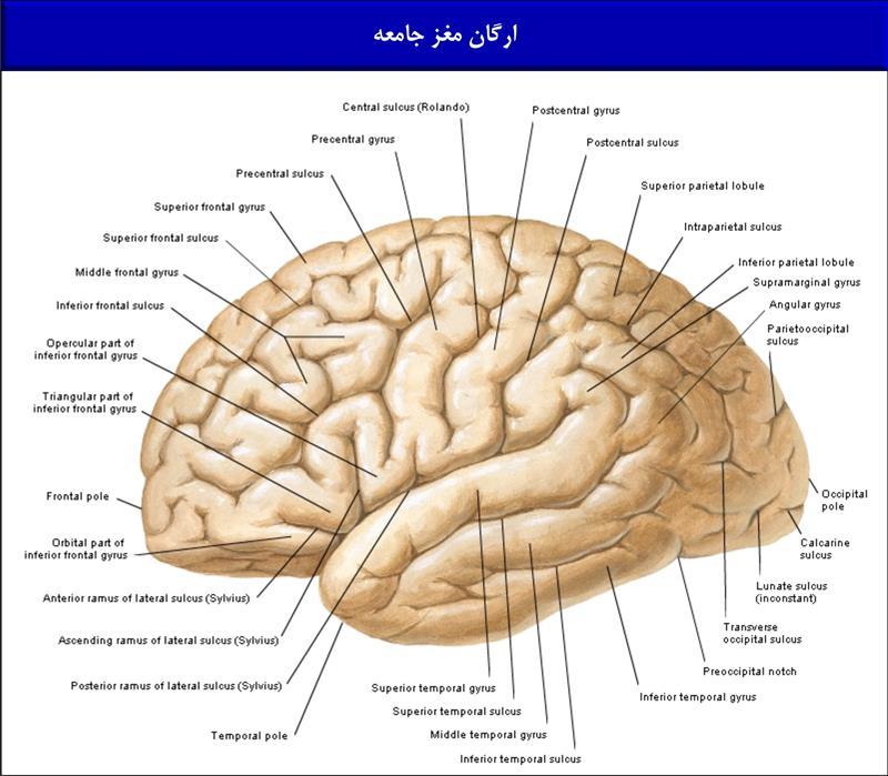 ارگان مغز جامعه
