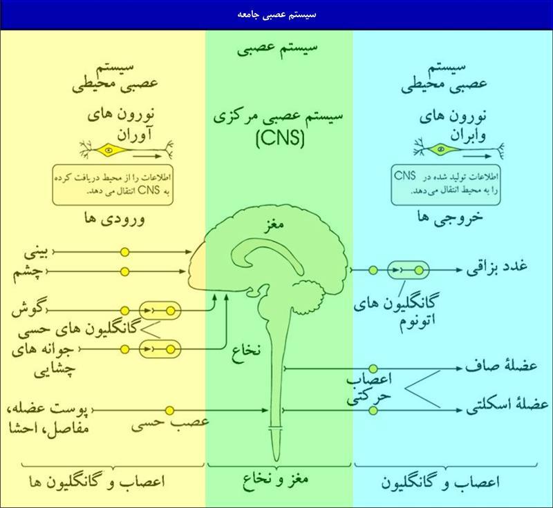 سیستم عصبی جامعه 1